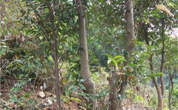 芽庄白奇楠 碎料 九分沉/ 2200元每克